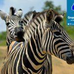 zebrasgx