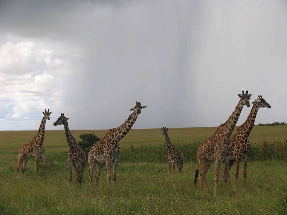 Maasai-mara Giraffes Kenya