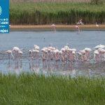 Flamingo,_Camargue,_14Y_6767
