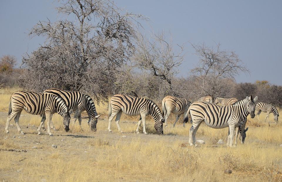 Zebra Etosha Namibia Africa Stripes