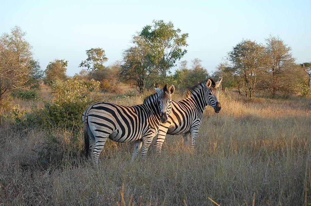 1024px-Kruger_Zebra