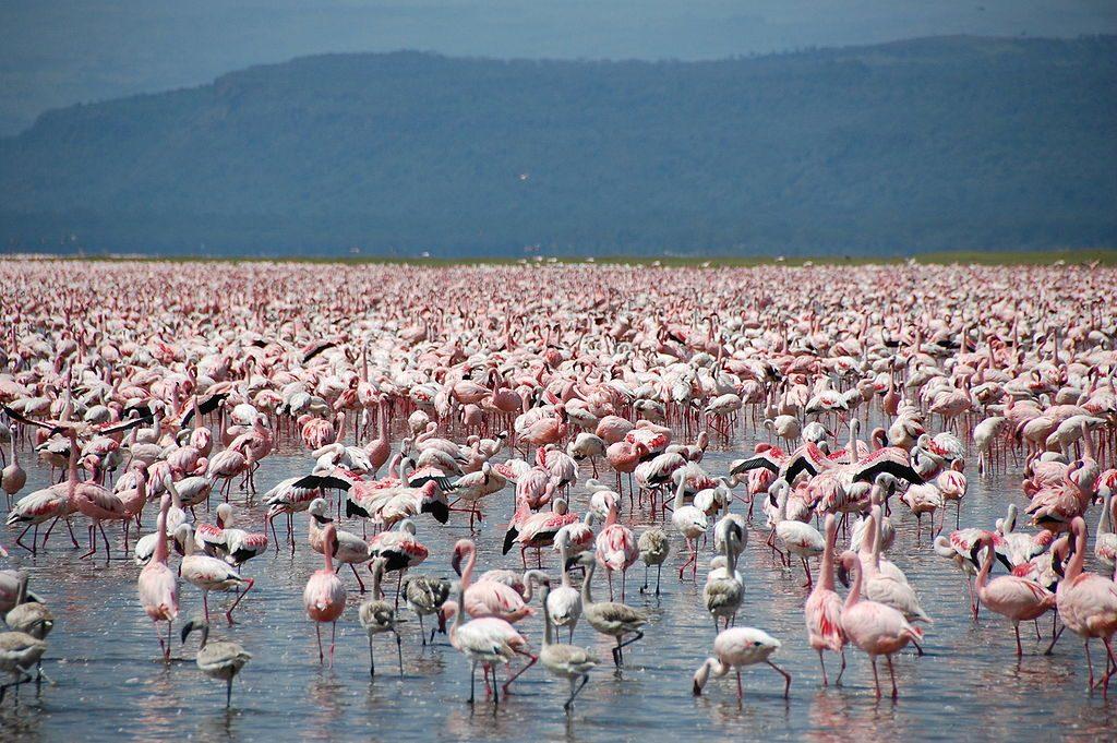 1024px-Large_number_of_flamingos_at_Lake_Nakuru