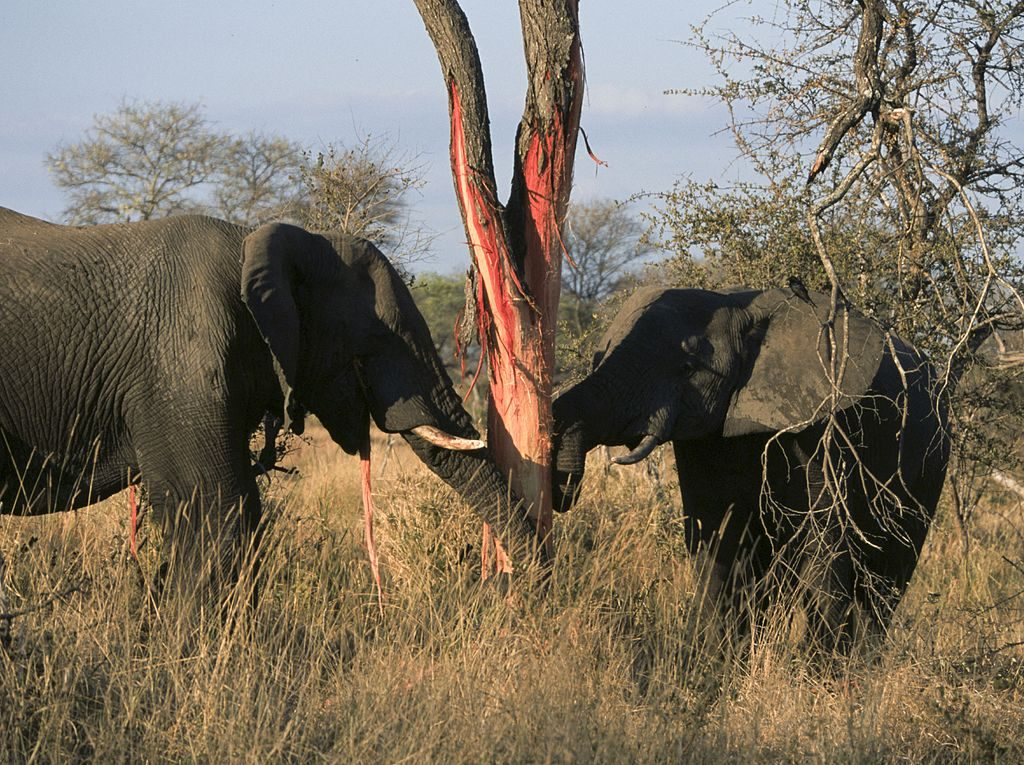 Elephants_eating_(Loxodonta_Africana)_(Kruger_National_Park,_2002)_02