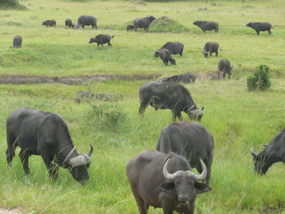buffalo-2089591_960_720