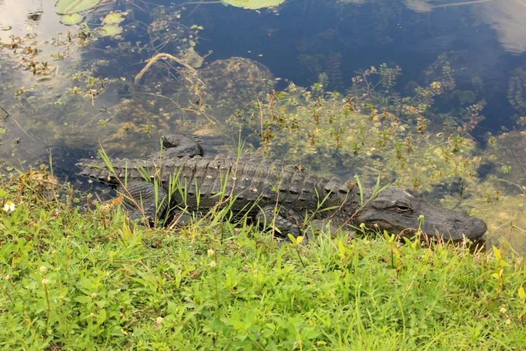 everglades_alligator_crocodile_usa_florida_national_park_sunbathing-968887