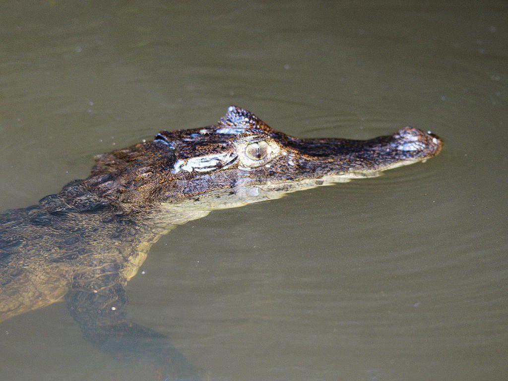 1024px-Caiman_crocodilus_(Tortuguero)