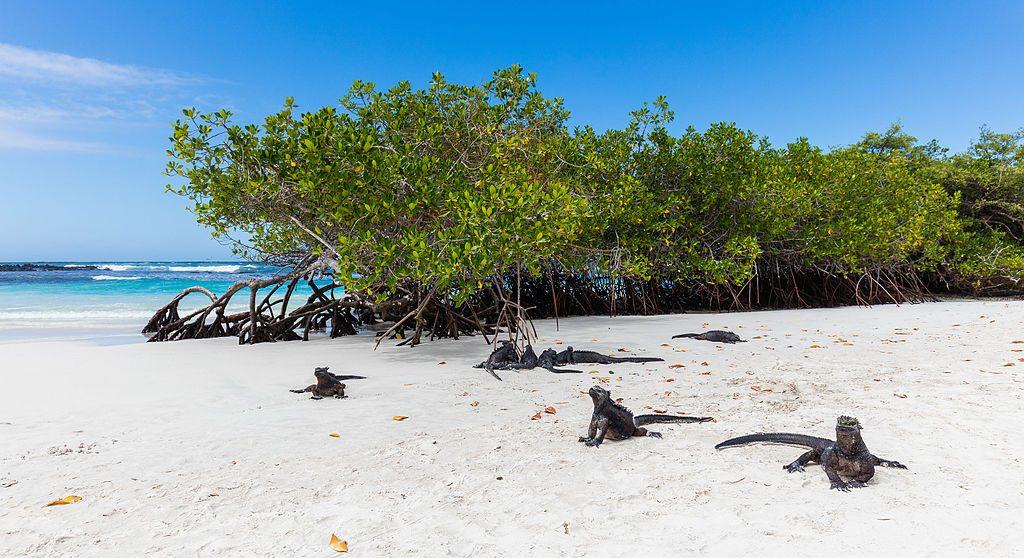 Iguanas_marinas_(Amblyrhynchus_cristatus),_Bahía_Tortuga,_isla_Santa_Cruz,_islas_Galápagos,_Ecuador,_2015-07-26,_DD_28
