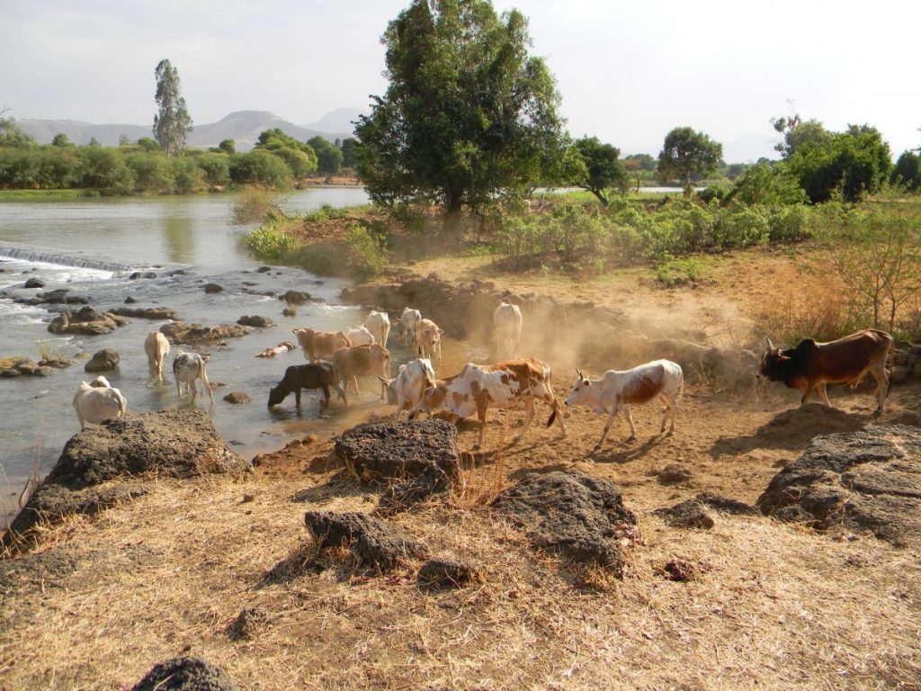 nile_cows_livestock_agriculture_africa_river_ethiopia-758988