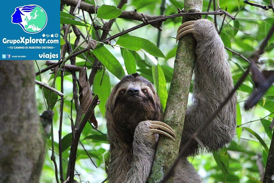 sloth-three-finger-sloth-jungle-costa-rica